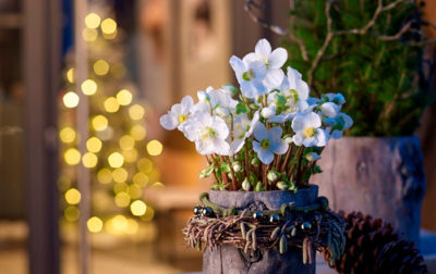 Helleborus 'Verboom Beauty'