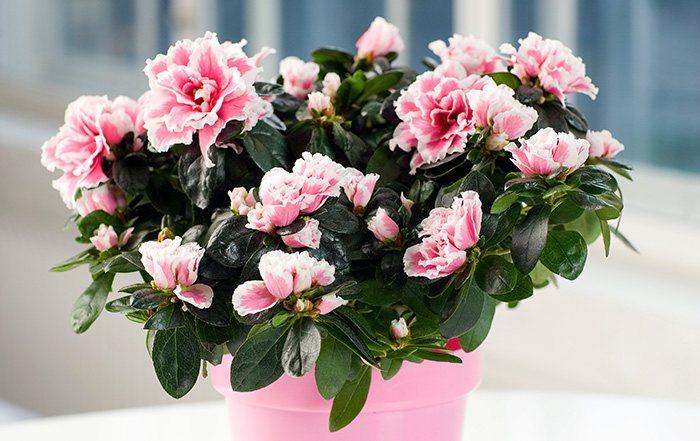 Azalee (Rhododendron simsii)