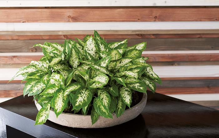 die perfekte zimmerpflanze f r das neue jahr ir linger gmbh co kg. Black Bedroom Furniture Sets. Home Design Ideas