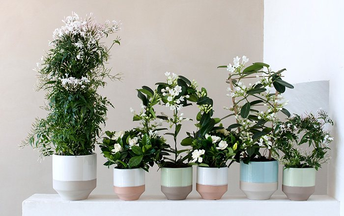 Duftjasmin Blumen