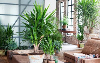 Yucca Zimmerpflanzen