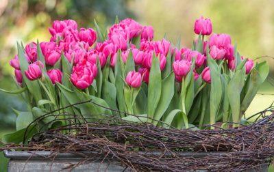 Pinke Tulpen Frühlingsblüher