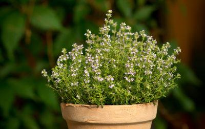 Thymian Kräuterpflanze