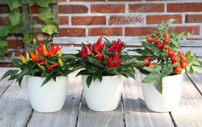 Naschpflanzen Chili und Tomate
