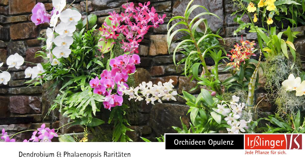 Orchideen Opulenz