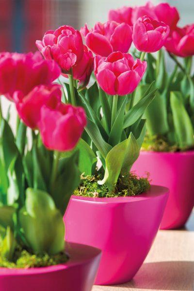 Tulipa Floradania