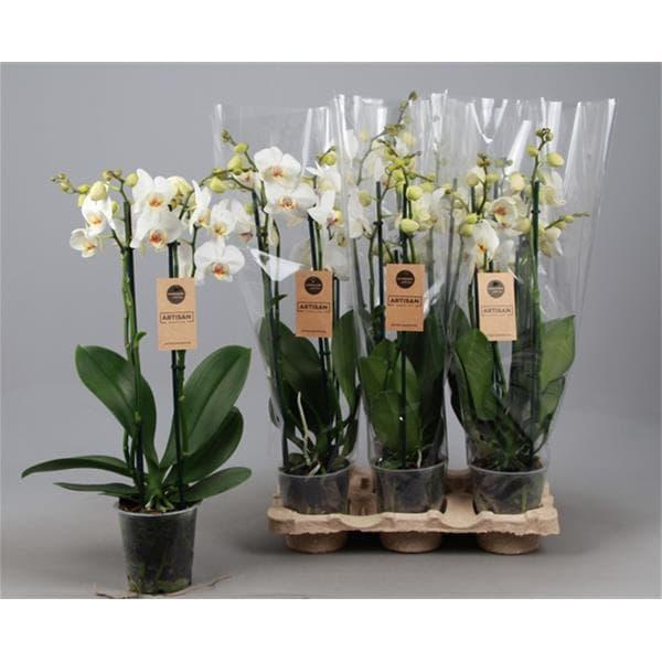Phalaenopsis hybrida