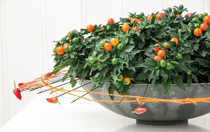 Solanum-Schale
