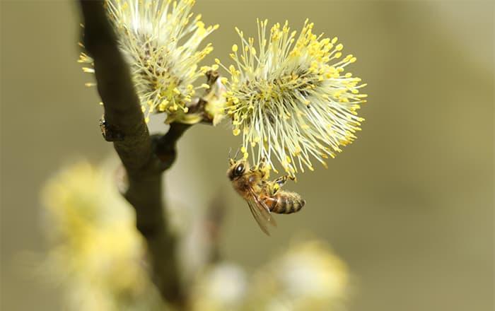 Biene_Salix_caprea