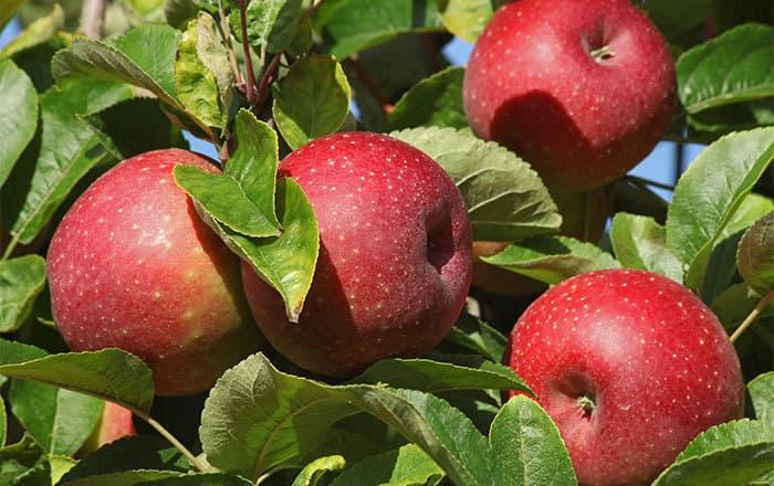 Apfel_Roter-Boskoop